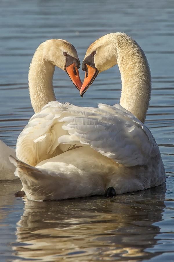mute swan pair v2_43G6702