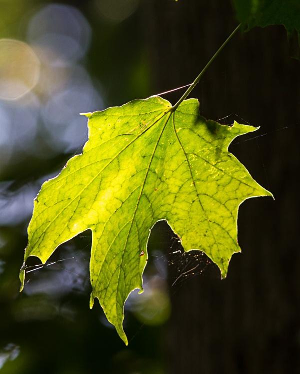 backiite-maple-leaf-v2_43g2246
