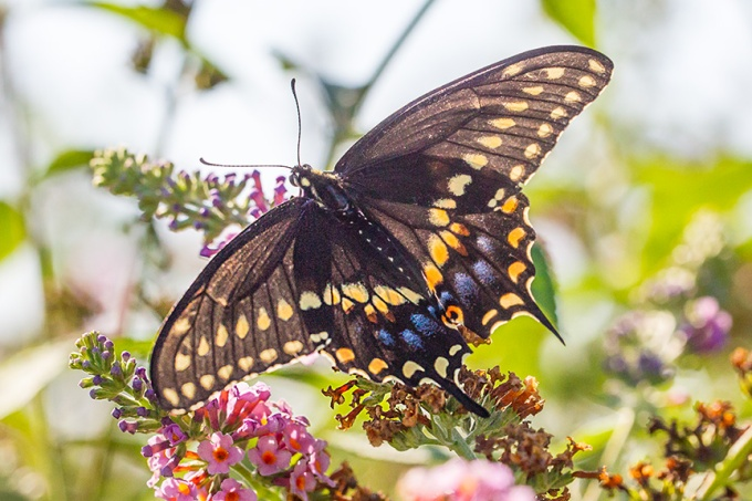 black-swallowtail-backlite-v1-davidsons-mill-2016_43g6849