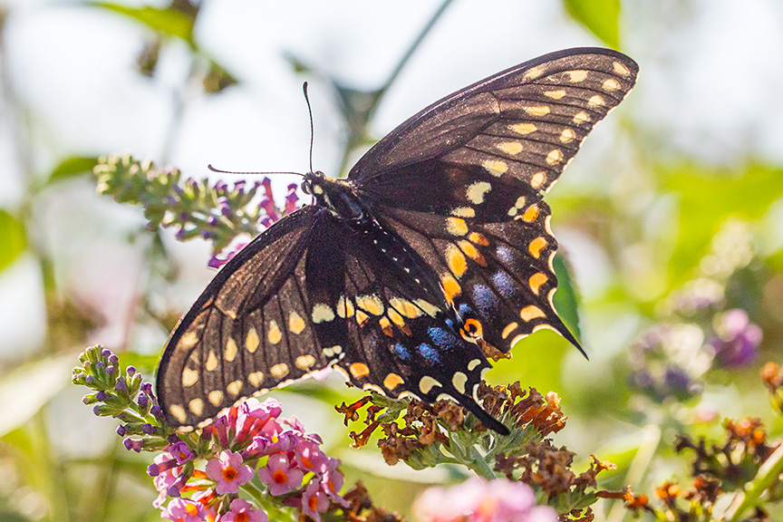 black-swallowtail-backlite-v1-davidsons-mill-2016_43g6849
