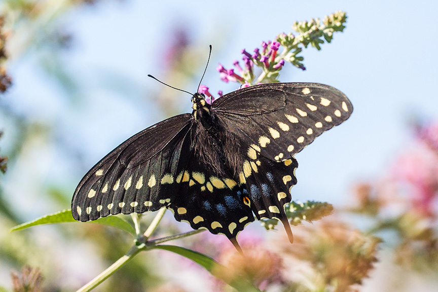 black-swallowtail-v1-davidsons-mill-2016_43g6741