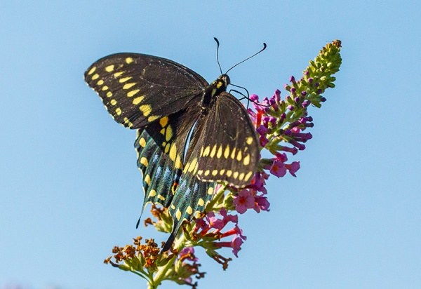 black-swallowtail-v1-davidsons-mill-2016_43g6780