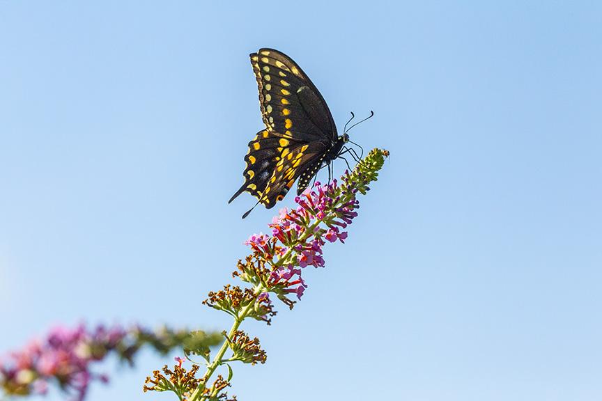 black-swallowtail-v1-davidsons-mill-2016_43g6787