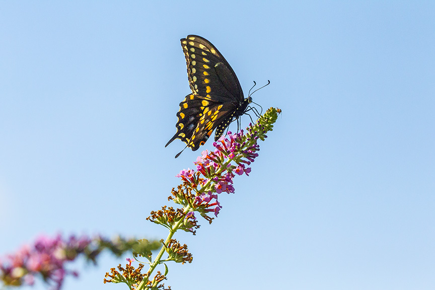 black-swallowtail-v1-davidsons-mill-2016_43g6787