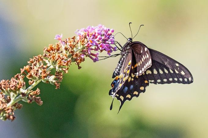 black-swallowtail-v2-davidsons-mill-2016_43g6813