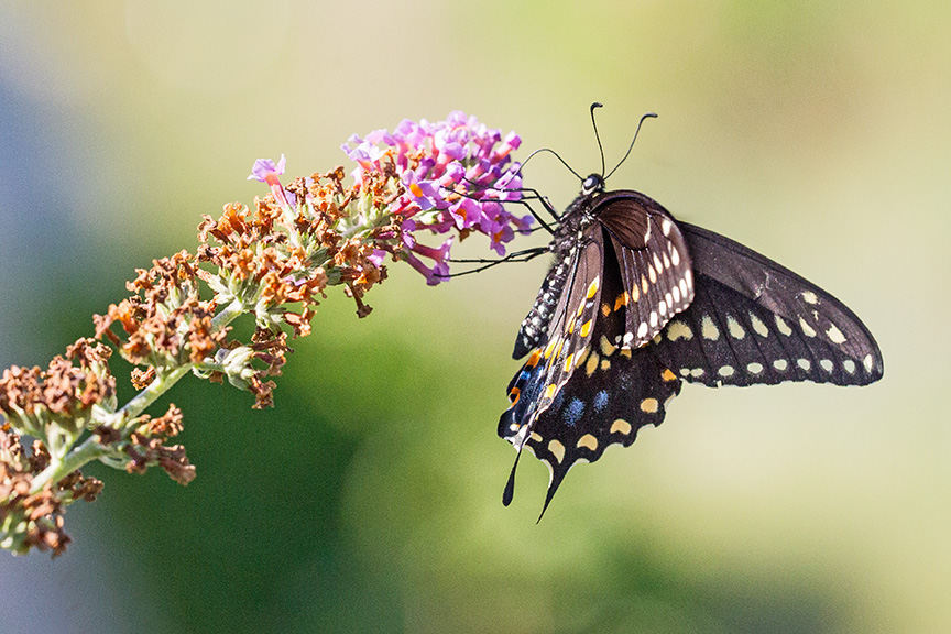 black-swallowtail-v2-davidsons-mill-2016_43g6813