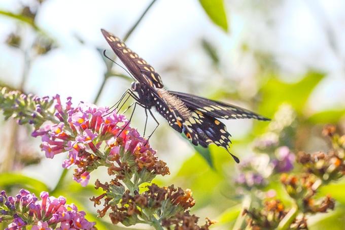 black-swallowtail-v2-davidsons-mill-2016_43g6829