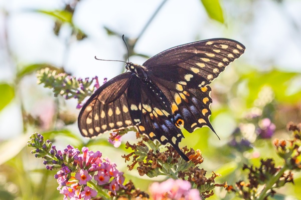 black-swallowtail-v2-davidsons-mill-2016_43g6841