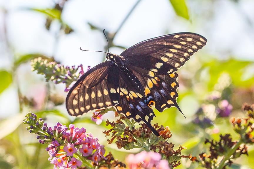 black-swallowtail-v2-davidsons-mill-2016_43g6841