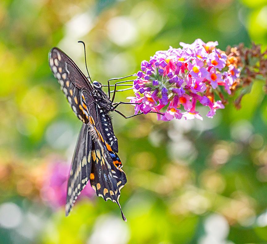 black-swallowtail-v2-davidsons-mill-2016_43g6864