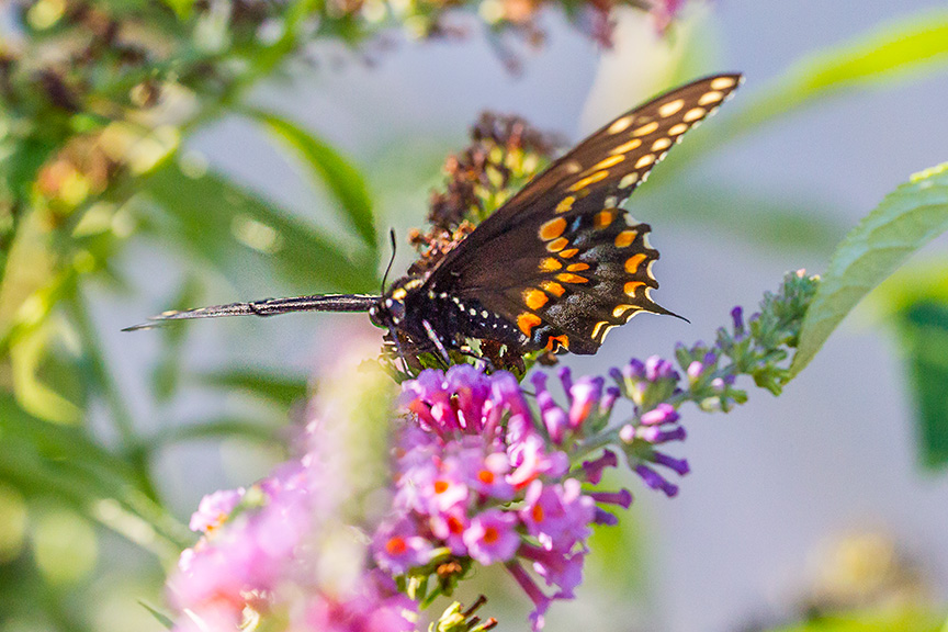 black-swallowtail-v5-davidson-mill-2016_43g6798