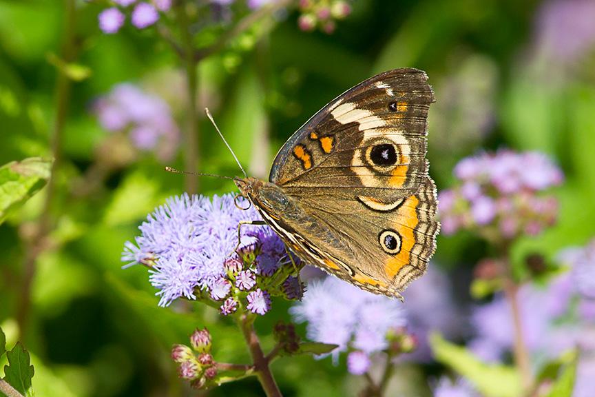 buckeye-butterfly-wildflower-v2-lg-2016_43g2991