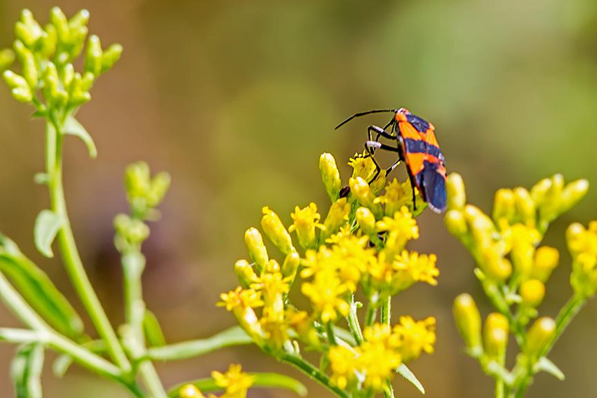 bug-wildflower-v2-lg-2016_43g2700