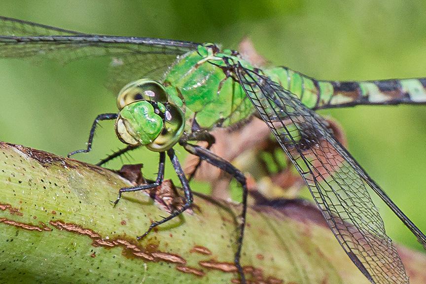 eastern-pondhawk-dragonfly-v2-davis-millv1-davidsons-mill_43g4353