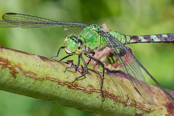 eastern-pondhawk-dragonfly-v3-davis-mill_43g4360