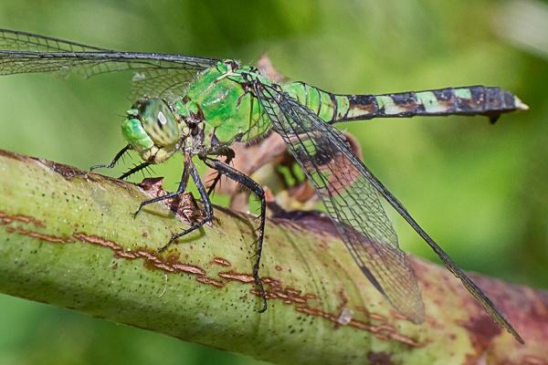 eastern-pondhawk-v3-dragonfly-davis-mill_43g4362