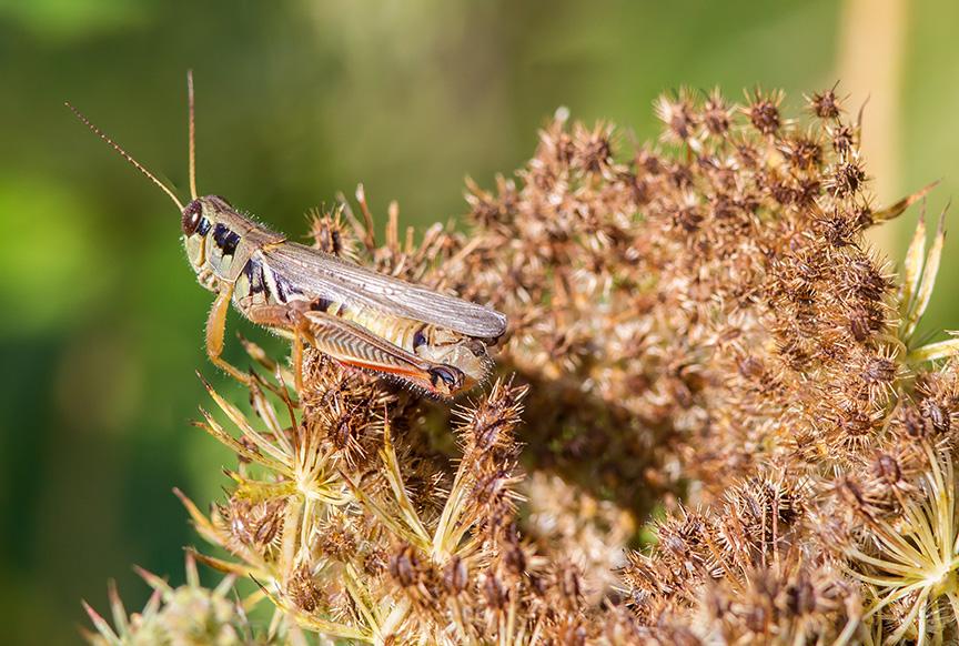 grasshopper-v2-lg-2016