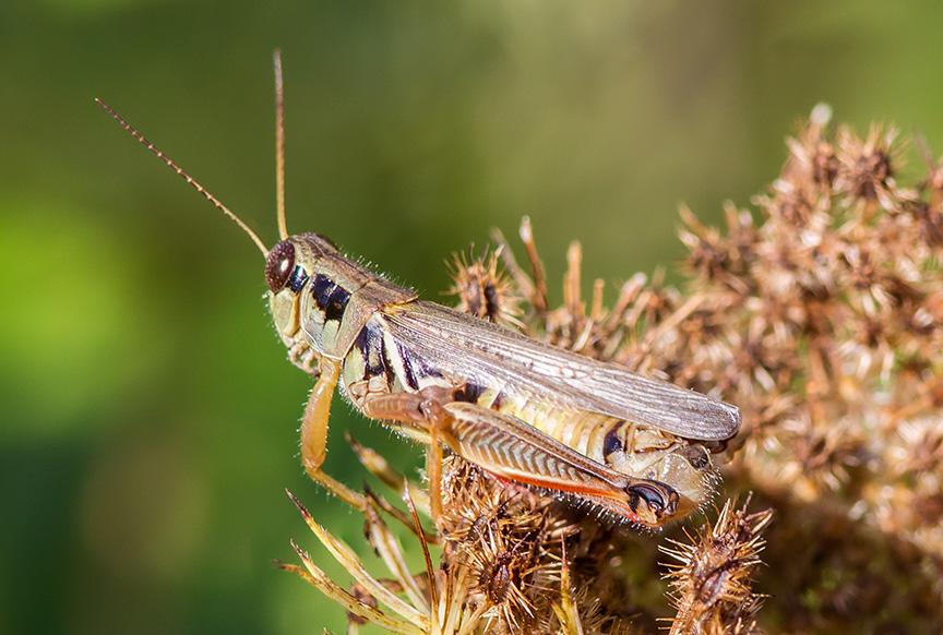 grasshopper-v3-lg-2016
