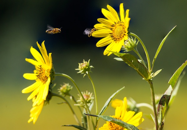 heliopsis-w-bees-v1_43g2883
