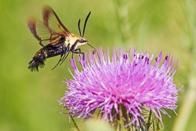 hummingbird-moth-v2-lg-2016_43g1739