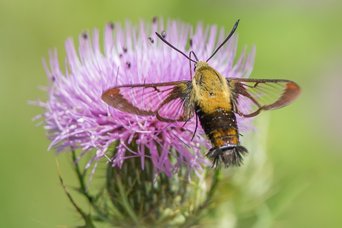 hummingbird-moth-v2-lg-2016_43g1905