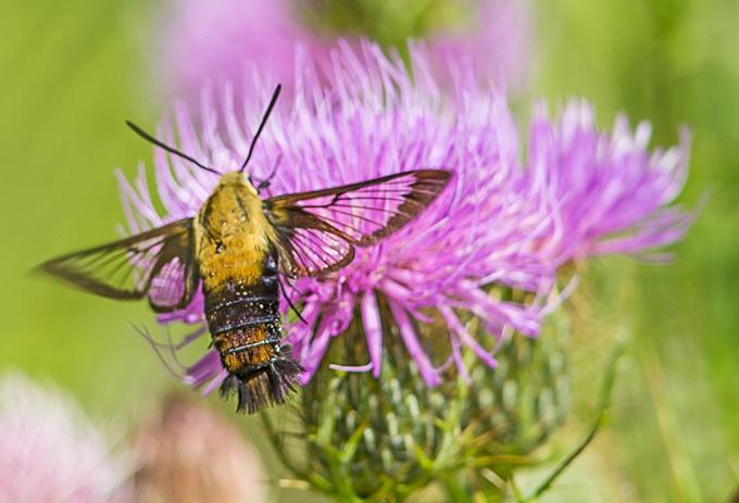 hummingbird-moth-v2-lg-2016__43g1760