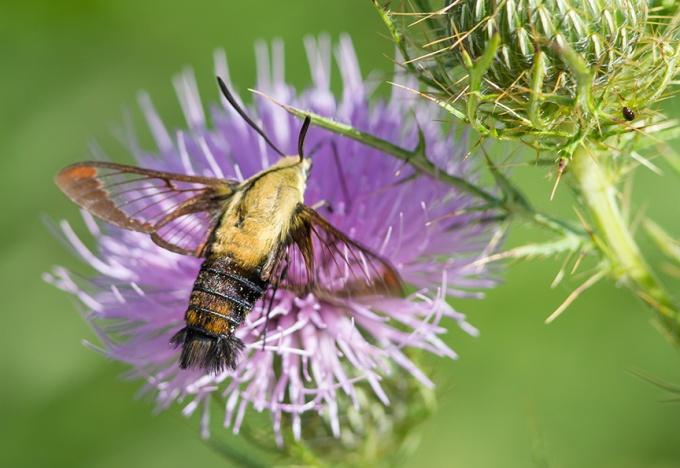 hummingbird-moth-v2-lg-2016__43g1806