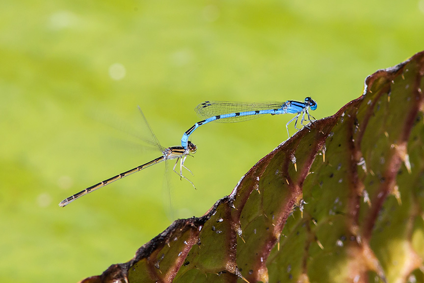 mating-damselflies-v2_43g3802