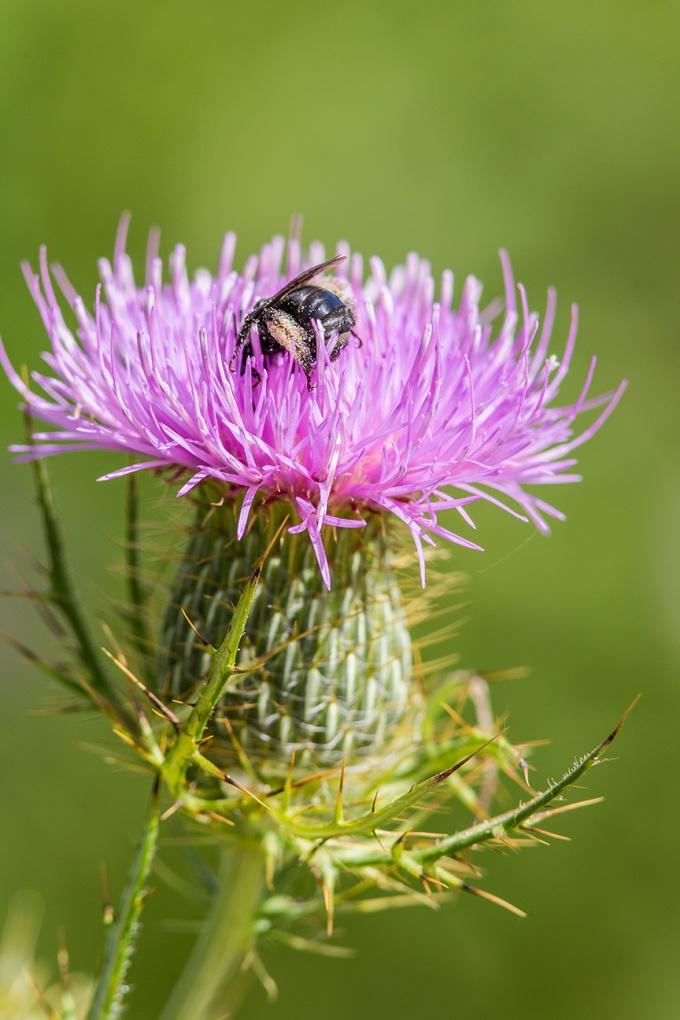 milk-thistle-bee-pollen-v1_43g1680