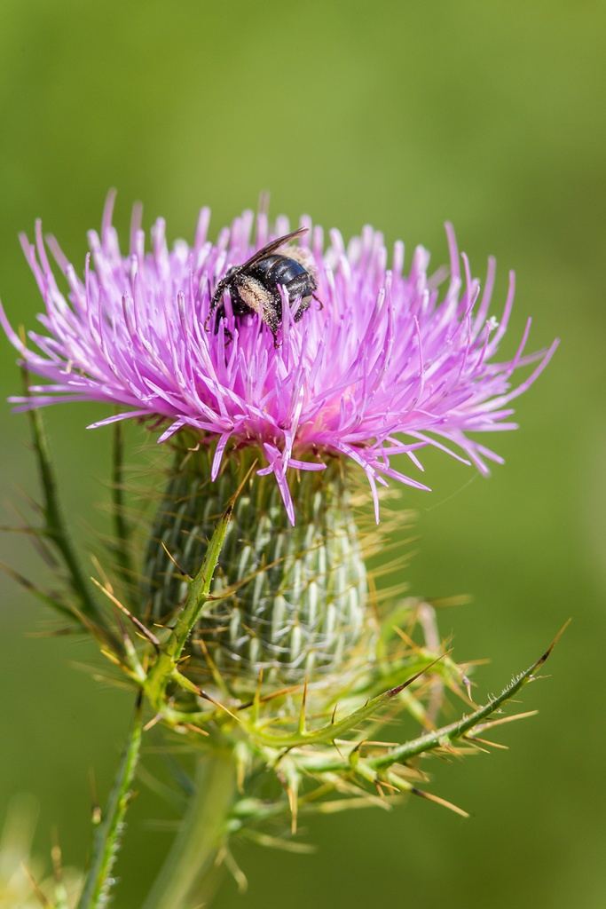 milk-thistle-bee-pollen-v1_43g1680