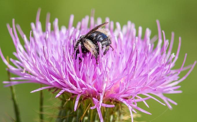 milk-thistle-bee-pollen-v2_43g1680
