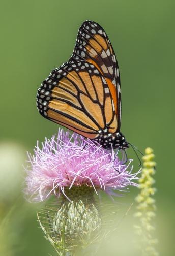 monarch-butterfly-v3-lg-2016_43g3320