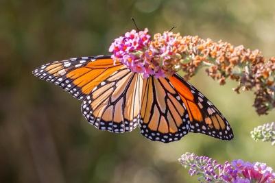 monarchblack-v2-davidsons-mill-2016_43g6973