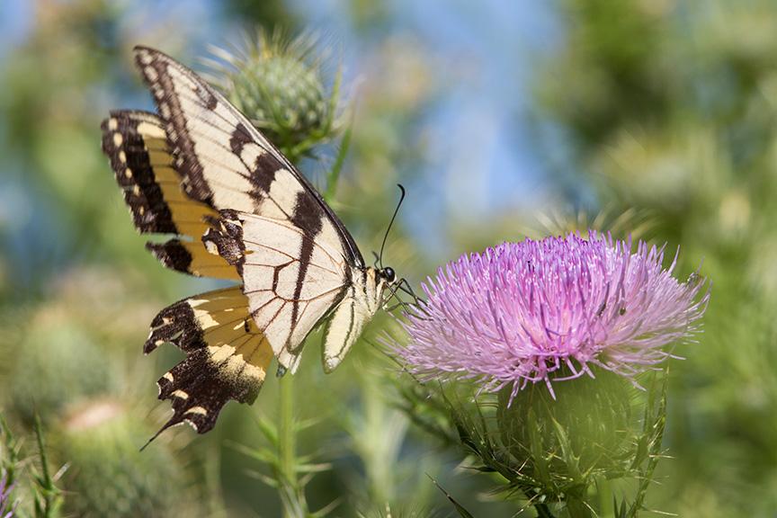 swallowtail-v1-lg-2016_43g2109