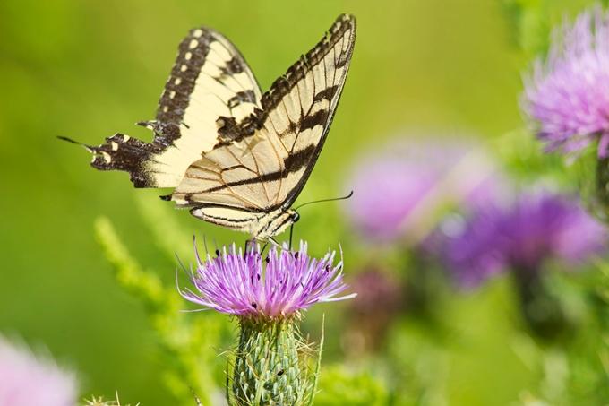 swallowtail-v1-lg_43g2046