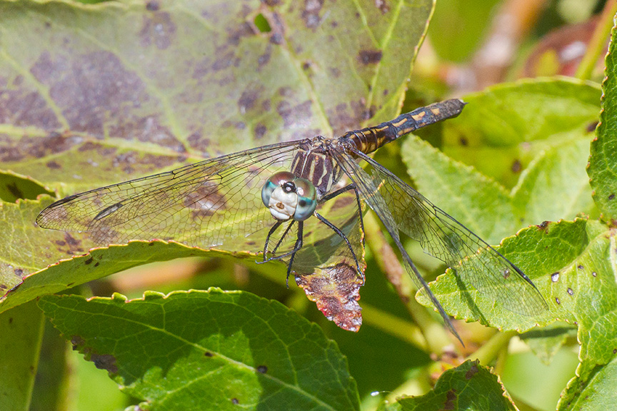 _blue-dasher-female-v2-davidson-mill-2016-43g4266