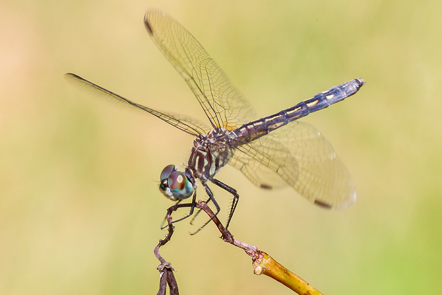 blue-dasher-female-v2-davidsons-mill-201643g4439