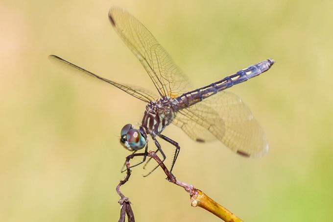 blue-dasher-female-v2-davidsons-mill-201643g4439