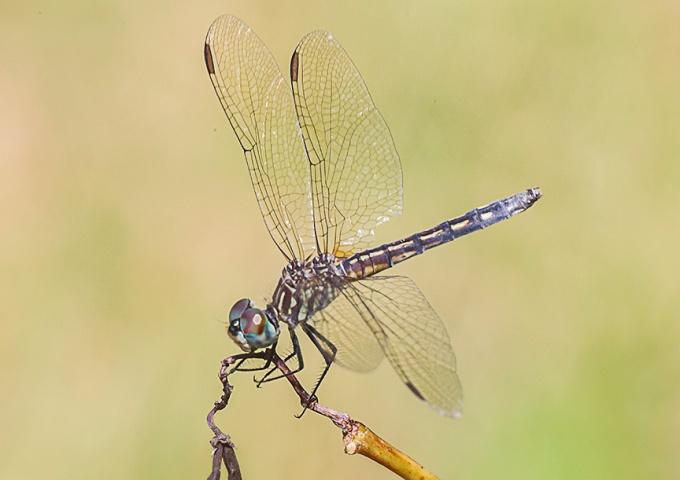 blue-dasher-female-v2-davidsons-mill-2016_43g4442