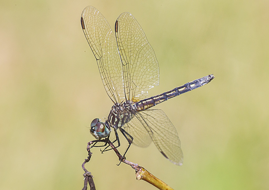 blue-dasher-female-v2-davidsons-mill-2016_43g4442