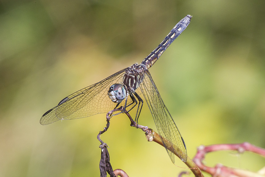 blue-dasher-female-v2-davidsons-mill-2016_43g4457