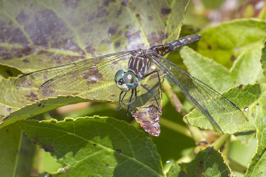 blue-dasher-female-v23dragonfly-davis-mill_43g4261