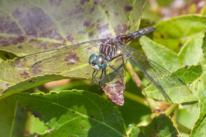 blue-dasher-female-v23dragonfly-davis-mill_43g4261