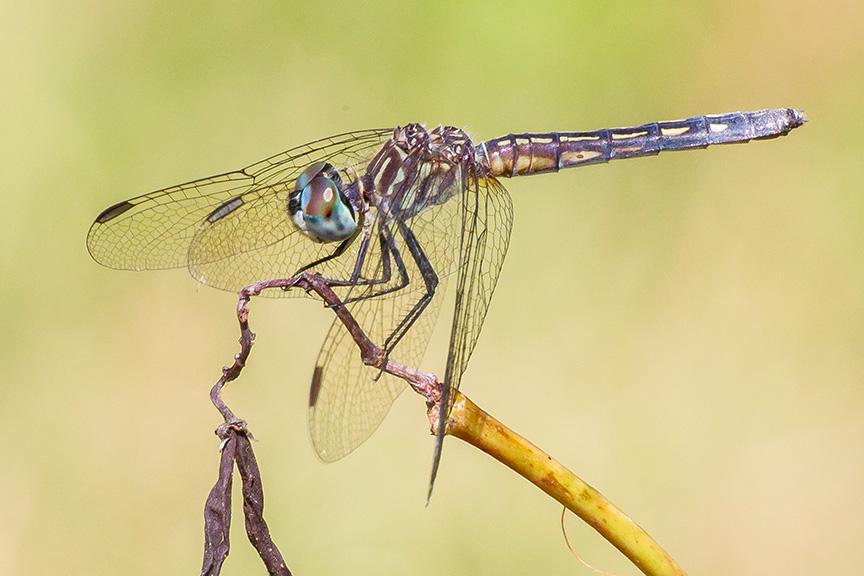 blue-dasher-female-v3-davidsons-mill-2016_43g4418