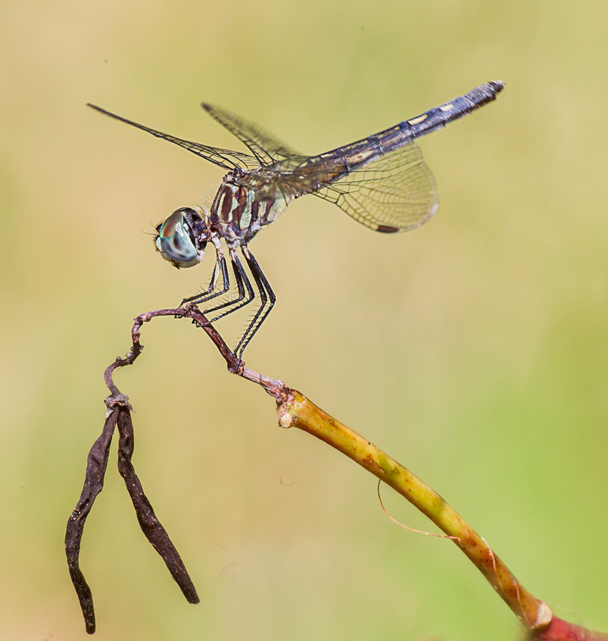 blue-dasher-female-v3-davidsons-mill_43g4437