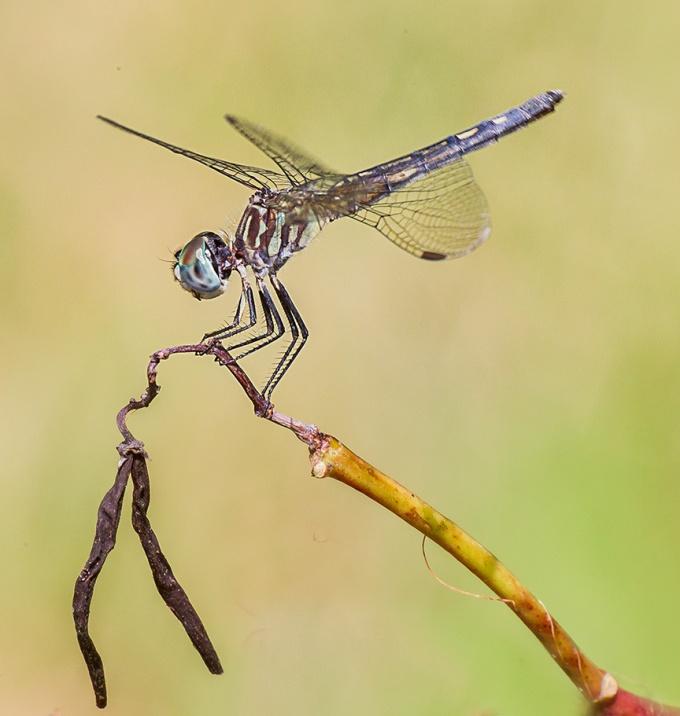 blue-dasher-female-v3-davidsons-mill_43g4437