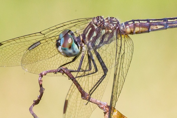 blue-dasher-female-v34davidsons-mill-2016_43g4418