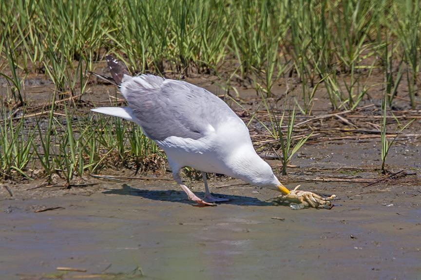 gull-finds-meal-brig-v1