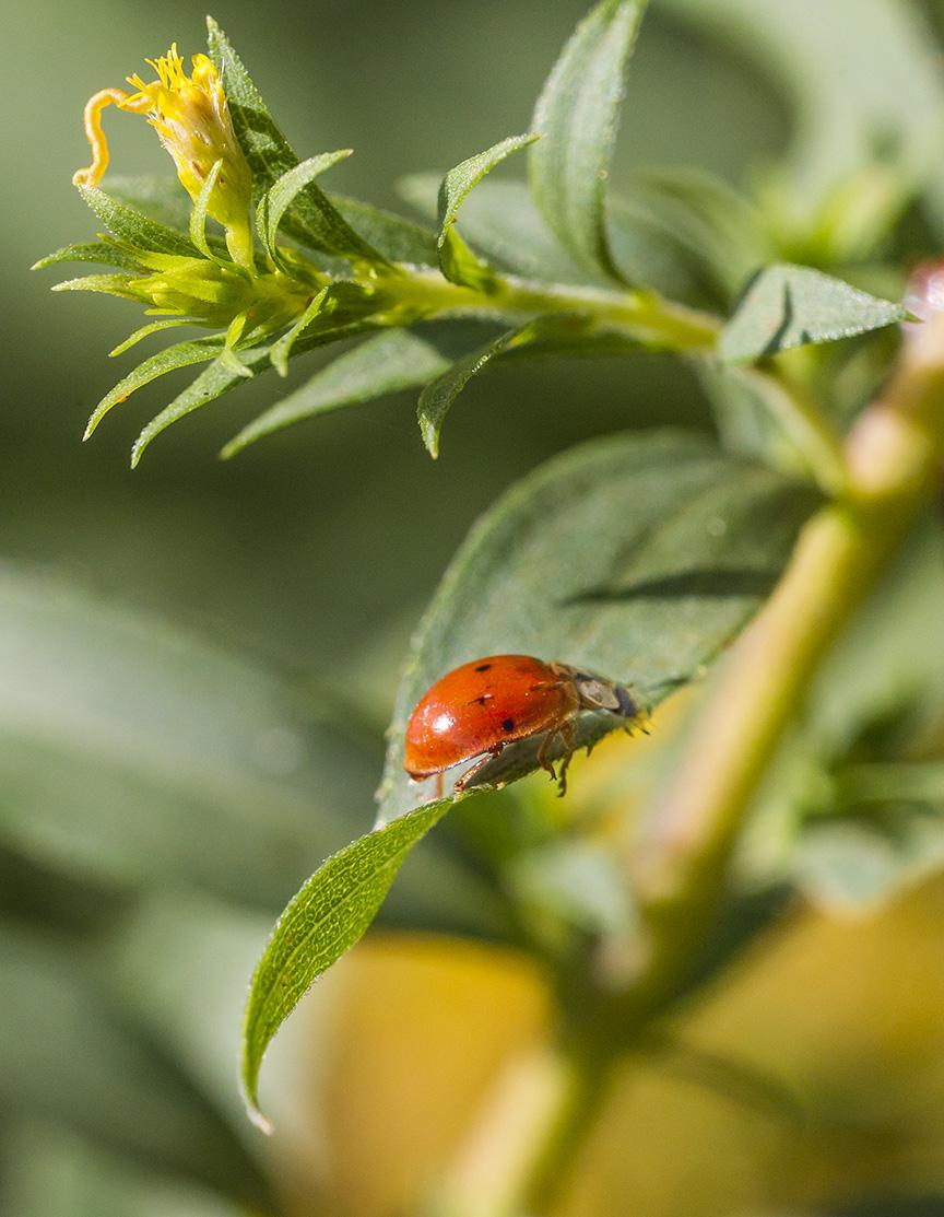 lady-bug-v3-davidsons-mill_43g6466