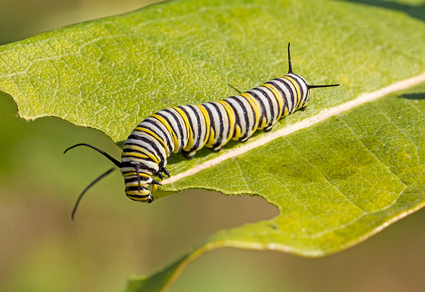 monarch-catepillar-v2-2img-stk-v1-davidsons-mill-2916